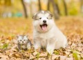 46981225 - scottish kitten and alaskan malamute puppy sitting together in autumn park.